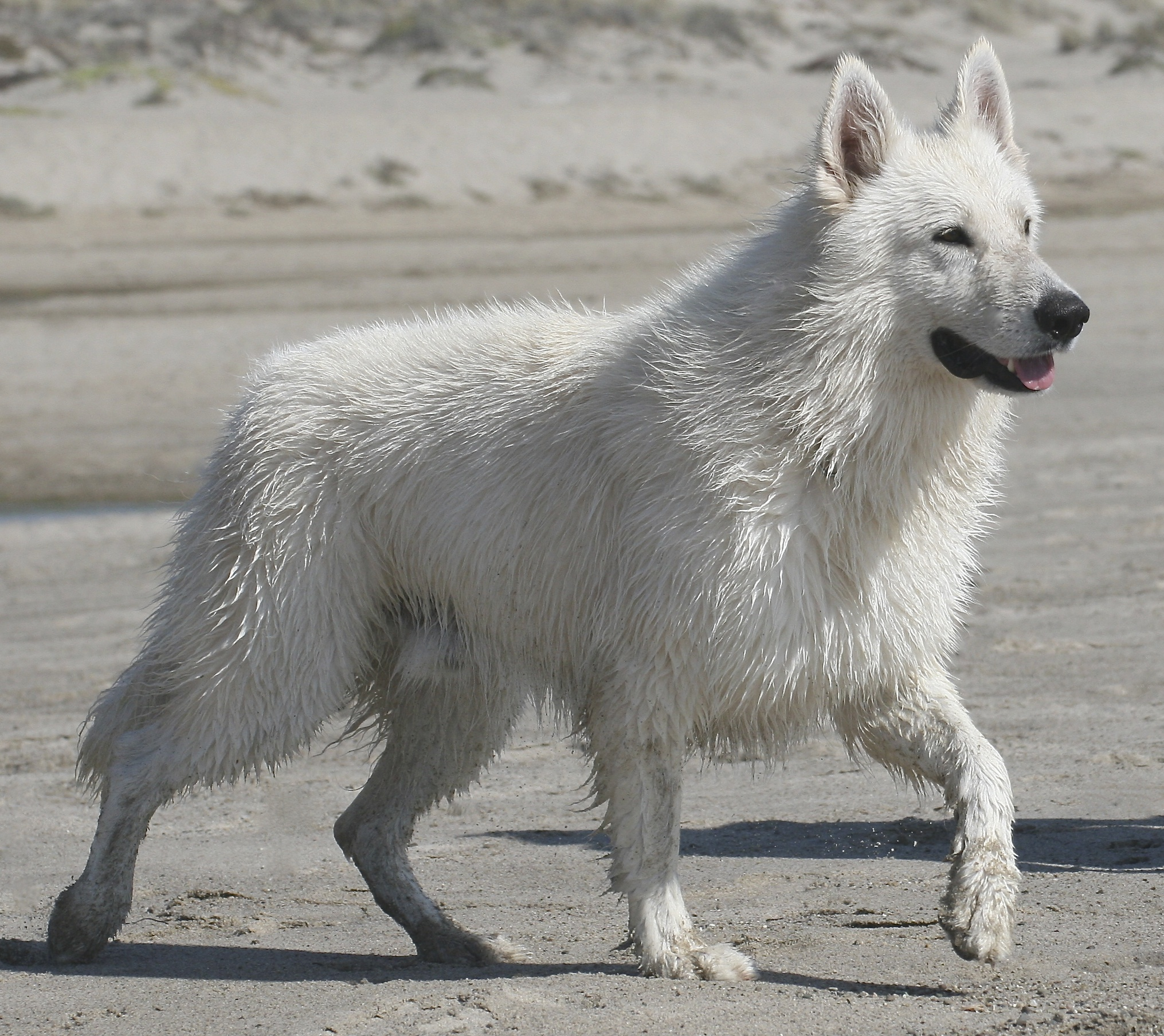 spring 2014 white german shepherd