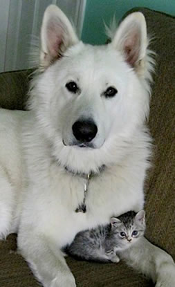 Berger Blanc Suisse White Shepherd Dogs Dances With Wolves Ranch