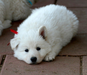 reserve-your-puppy-berger-blanc-suisse