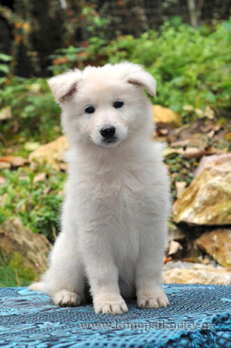Christmas 8weeks berger blanc suisse