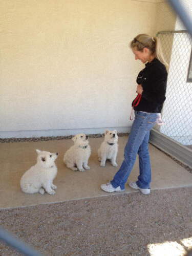Dances with Wolves Ranch: White Swiss Shepherd puppies for sale