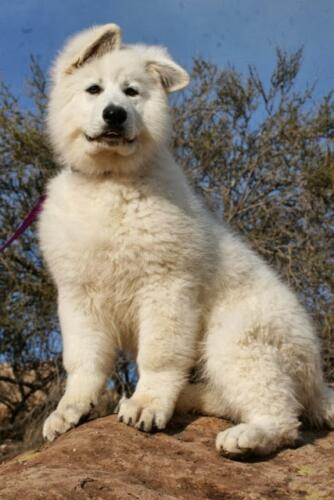 dww young adult Berger Blanc Suisse 3
